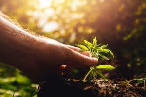cannabis médical légalisation cannabis